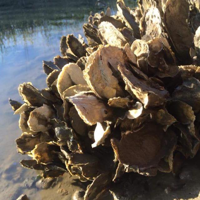 Oyster shells folly beach island river charleston south carolina nature
