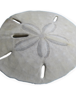 sand dollar sticker Charleston sc beach artist